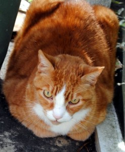 Dundee, the marmalade cat