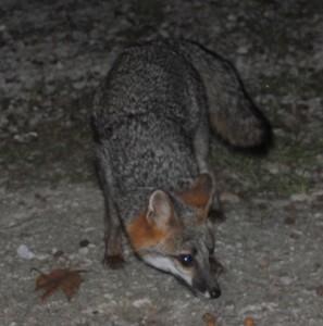 A fox enjoys his dinner