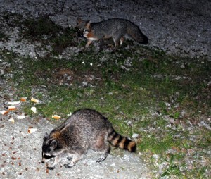 Raccoons ready to eat.