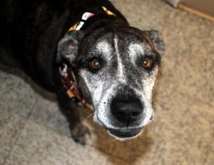 Senior dog Belle